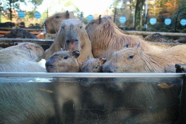 2013年11月のカピバラ温泉(画像提供:こども動物自然公園)