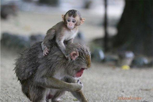 母ザルのオフセとシャーロット(高崎山自然動物園のスタッフブログから転載)