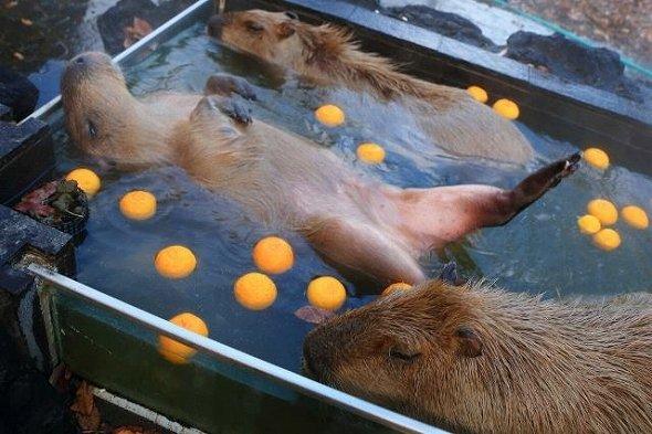 ゴロンゴロン...浴槽内でいつもより多く回っています(2015年1月4日 埼玉県こども動物自然公園より、いいね!数:574)