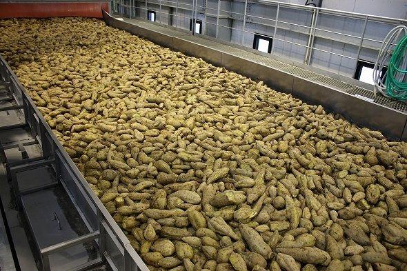 大量のふかし芋がベルトコンベアで運ばれる