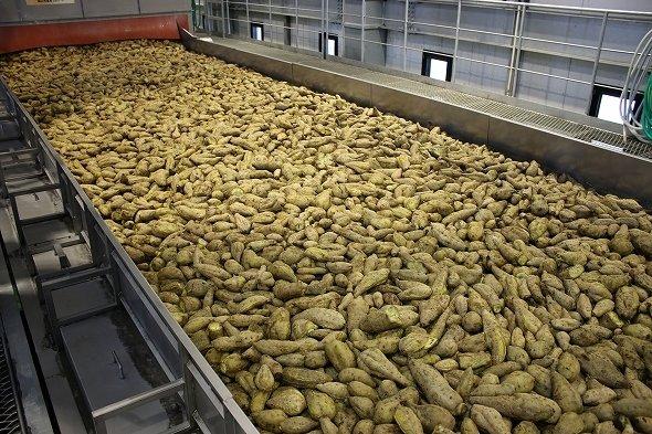 コンベア上には、約5トンもの芋が