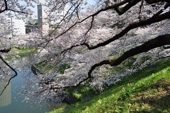 田安門の桜(江戸村のとくぞうさん撮影、Wikimedia Commonsより)