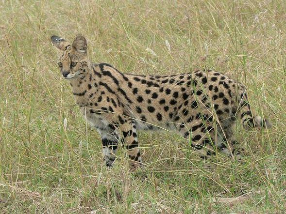サーバル。写真はイメージです(Wikimedia Commonsより)