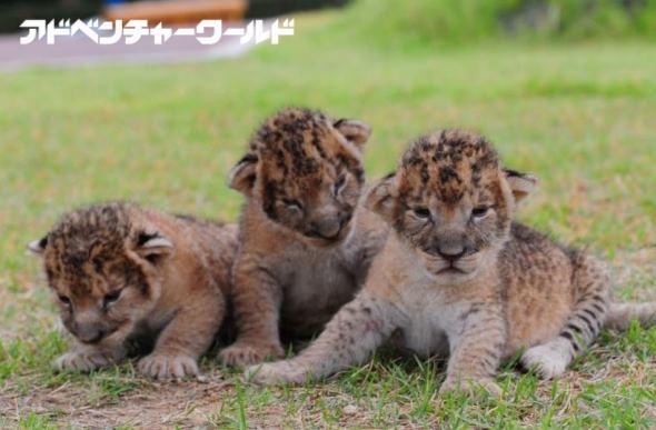 ライオンの赤ちゃん。平成29年10月3日撮影(画像はプレスリリースより)