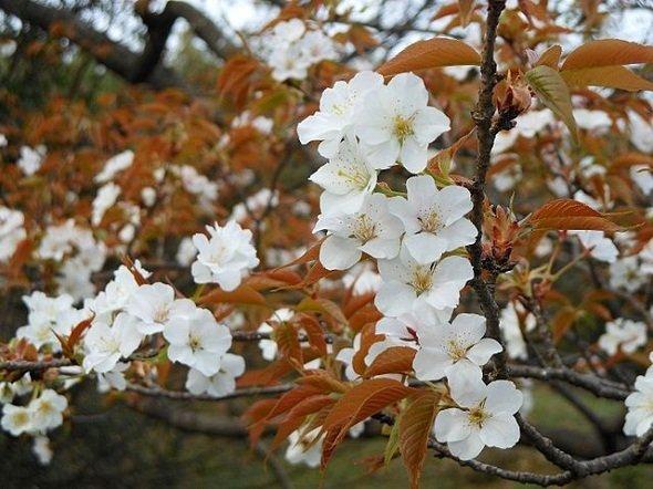 こちらはよく似ているとされるヤマザクラ(Pekachuさん撮影, Wikimedia Commonsより)