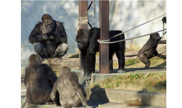 画像は、「東山動植物園」のホームページ、お知らせ「ゴリラとチンパンジーが引っ越し作業に入ります!」より