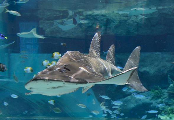 シノノメサカタザメ(画像提供:名古屋港水族館)