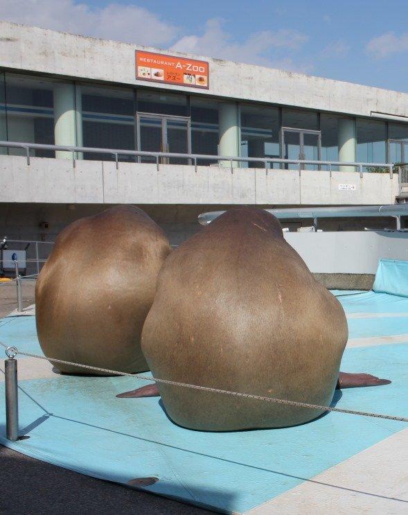ジャガイモのモノマネをするセイウチ(画像提供:大分マリーンパレス水族館「うみたまご」)