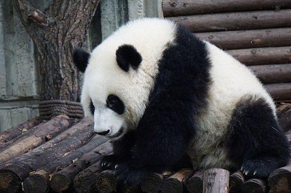 実物のパンダは是非見たいが(画像はイメージ)