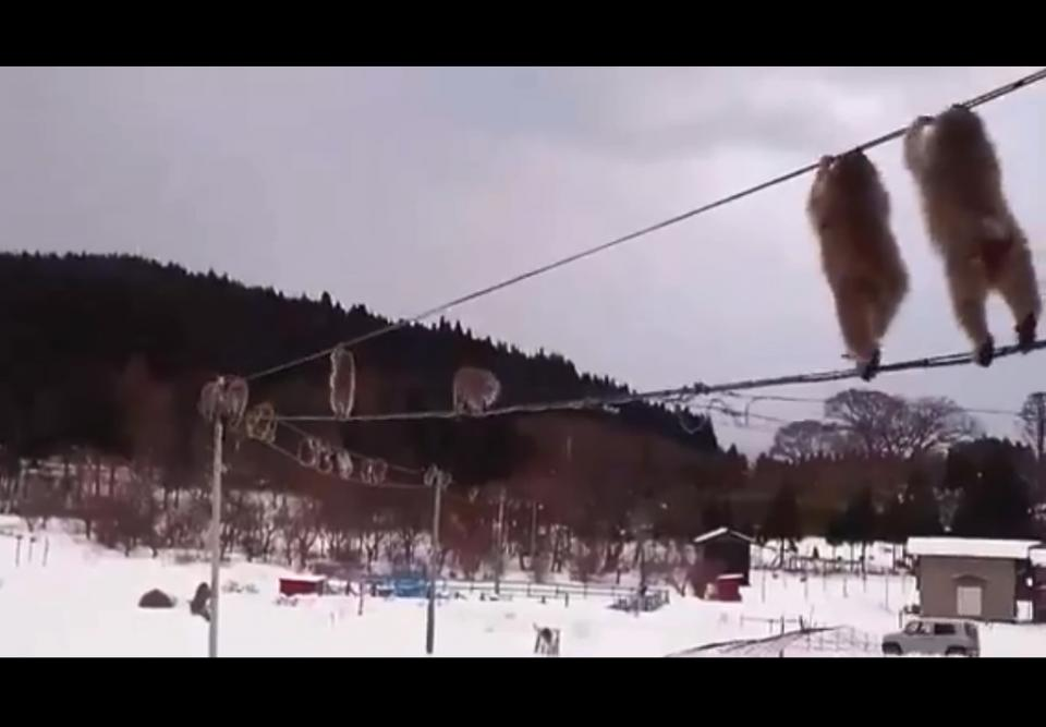 ニホンザルの大群が電線で綱渡りする動画が話題に 青森