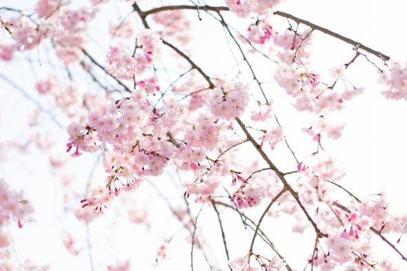 今年中に令和最初の花見ができる?