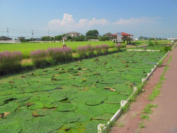 加須市内のオニバス自生地(京浜にけさん撮影, Wikimedia Commonsより)