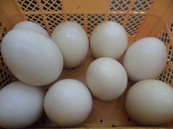 5月4日の賞品、ダチョウの卵