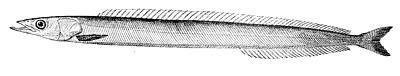 イカナゴ(Wikimedia Commonsより)