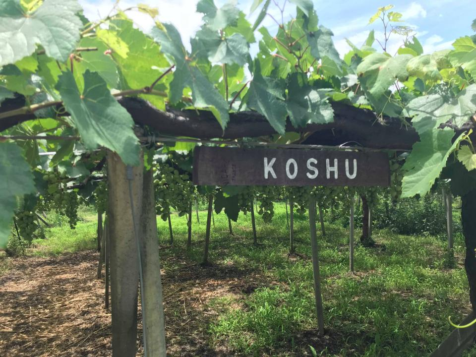様々な品種のブドウを栽培するルミエールワイナリーの畑。ブドウ棚はこのエリアのシンボルでもある