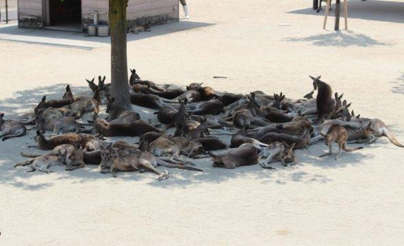 木陰に集まるカンガルーたち。せめて日向に出てくれ