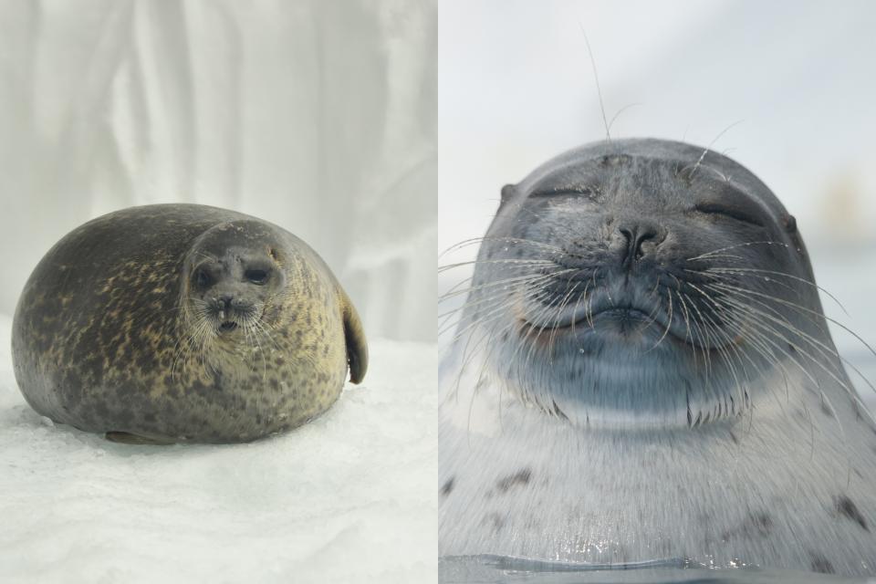左・ユキ、右・アラレ(画像提供:海遊館)