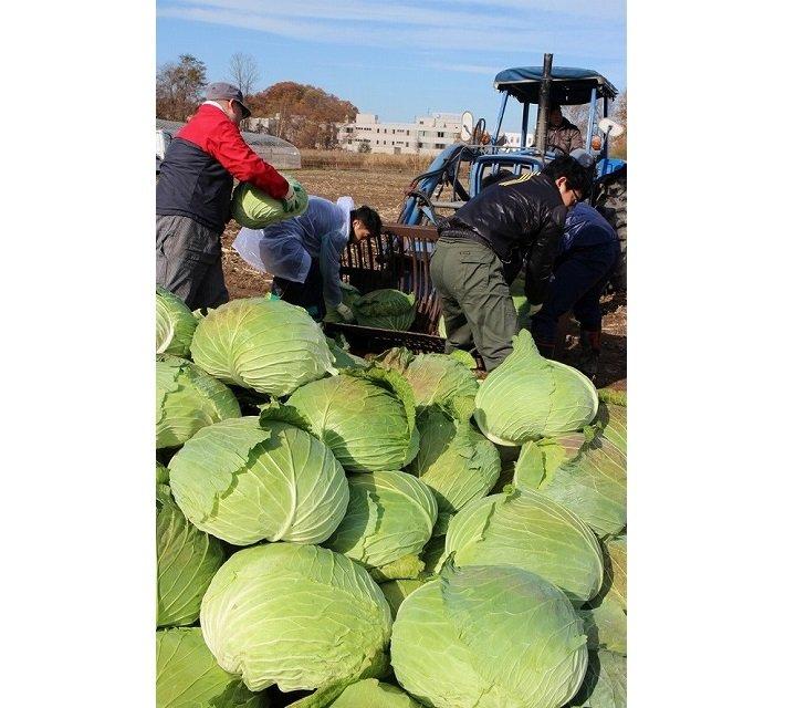 札幌大球の収穫(JAさっぽろ公式サイトより)