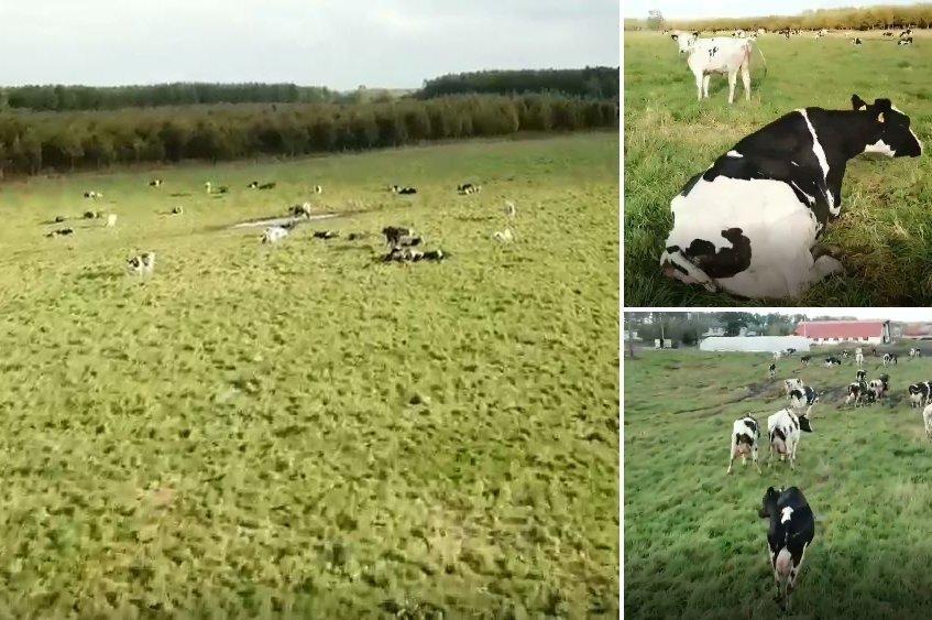 ドローンが牛たちを起こしていく(画像はしんちゃん@shin_chang_1024さんの動画より)