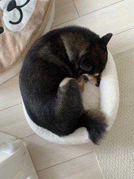 柴犬のあずきさん(写真はあず花コミカルコンビ@kuroshibaazukiさんのツイートより)