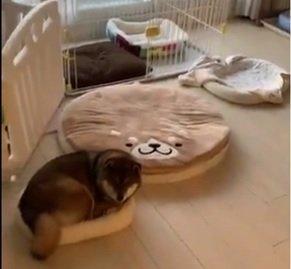 こんなにたくさんベッドがあるのに(画像はあず花コミカルコンビ@kuroshibaazukiさんの動画より)