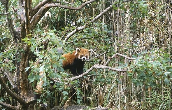 レッサーパンダ。高知県立のいち動物公園。(Shoichi Masuhara さん撮影、Wikimedia Commonsより)