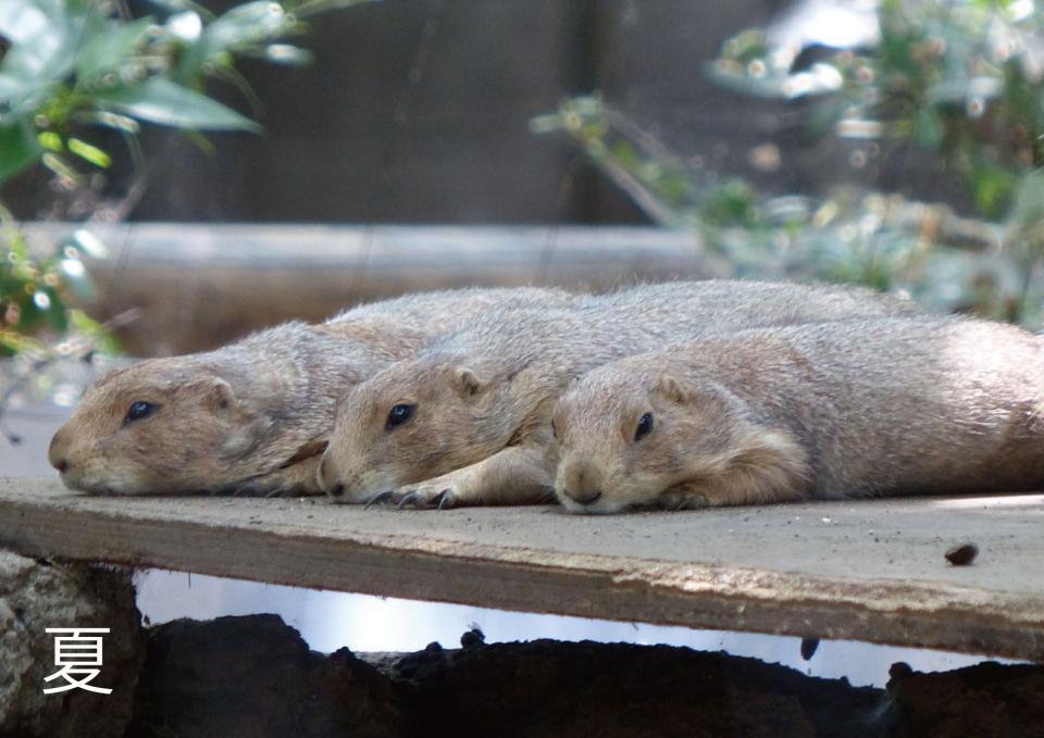 夏は暑そう(写真は(公財)東京動物園協会提供)