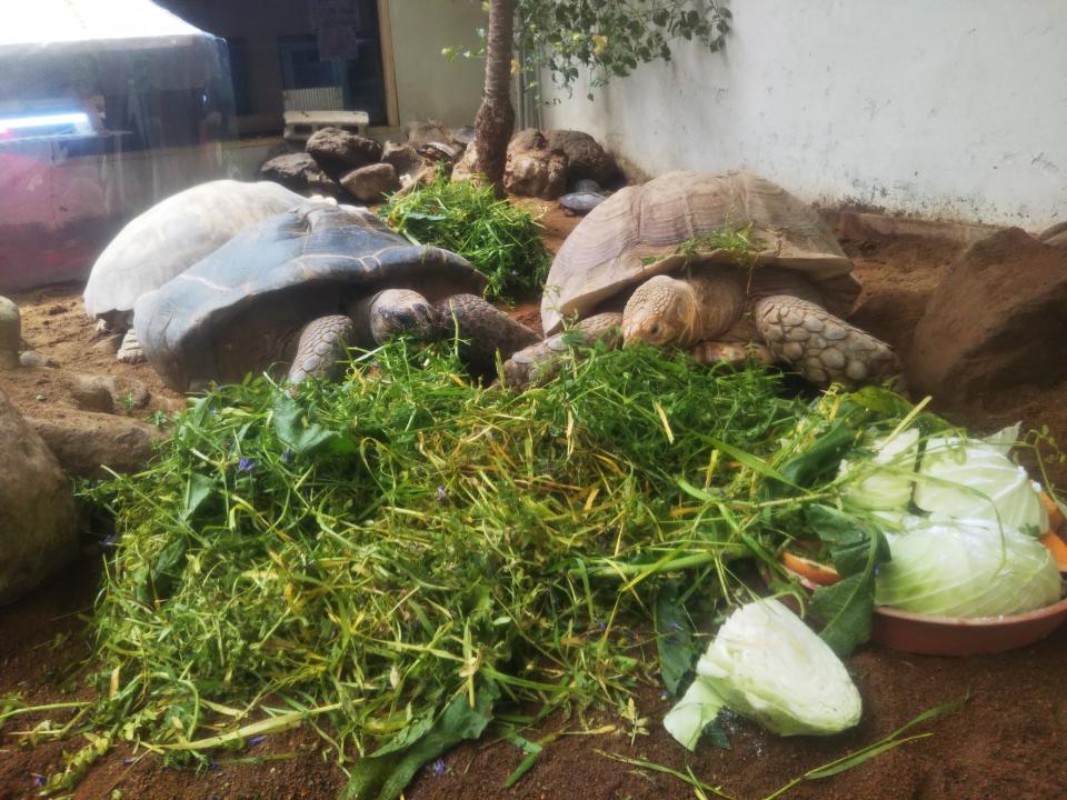 すごい量を食べるリクガメ(画像は草津熱帯圏提供)