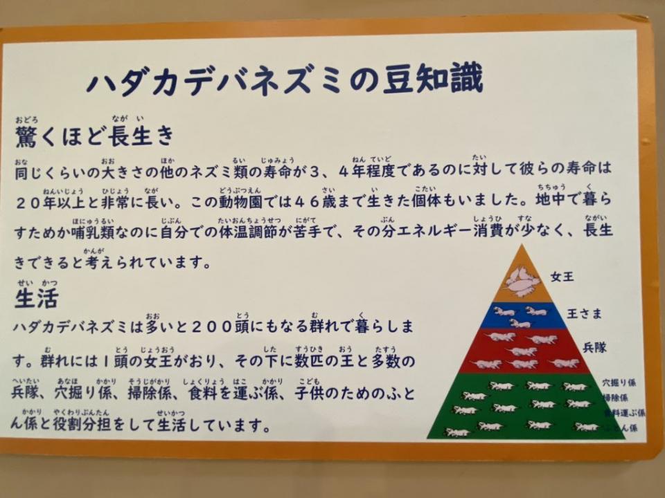 ハダカデバネズミ・ピラミッド(Chii★69(コムギコ)さんのツイートより)