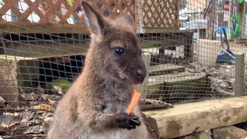 にんじんを食べるワラビー(画像は山羊@Akr__BBさんの投稿動画より)
